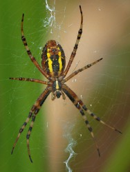 Spiderviech