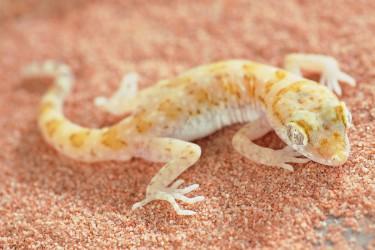 Gecko 1